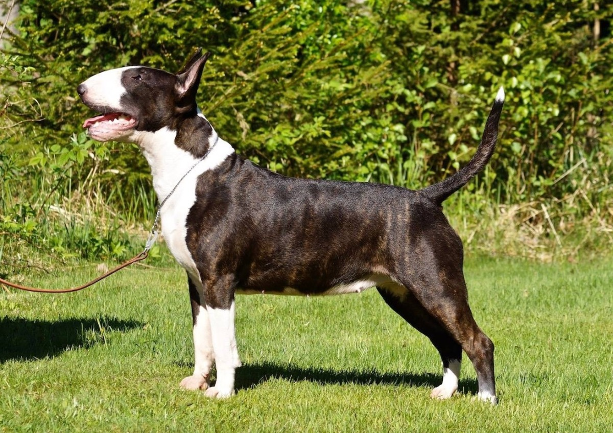 Brindle-And-White-Betty-Timar